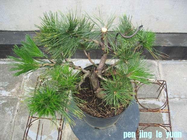 [转载]松树的逼芽方式总整理
