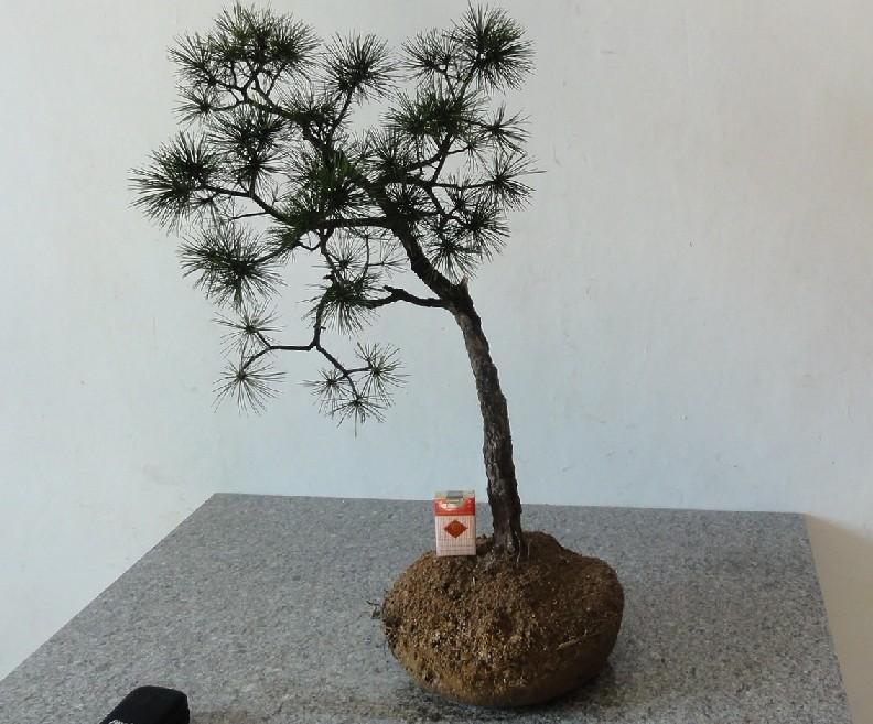 桩材交易区 盆景乐园 中国最专业最受欢迎的盆景艺术交流平台