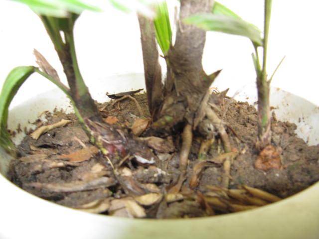 枸杞,棕竹,两面针