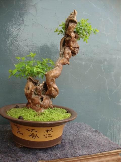 桩材交易区 盆景乐园 中国最大最专业的盆景艺术交流平台 桩材交易区