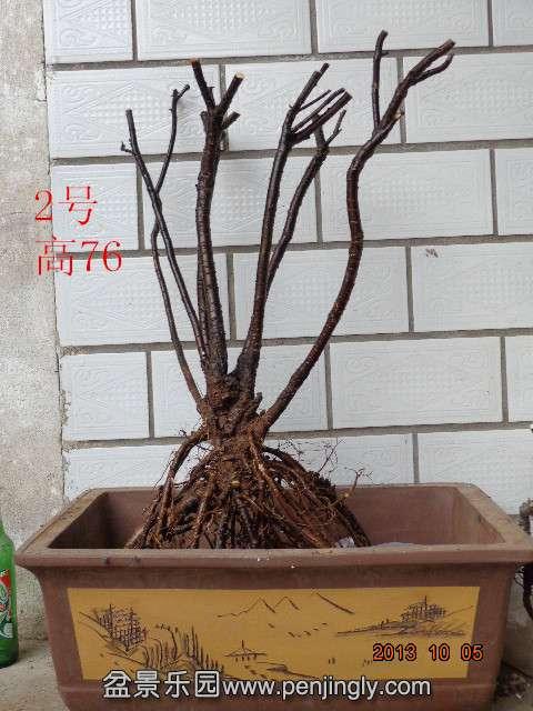金雀眀价 桩材交易区 盆景乐园 中国最大最专业的盆景艺术交流平台
