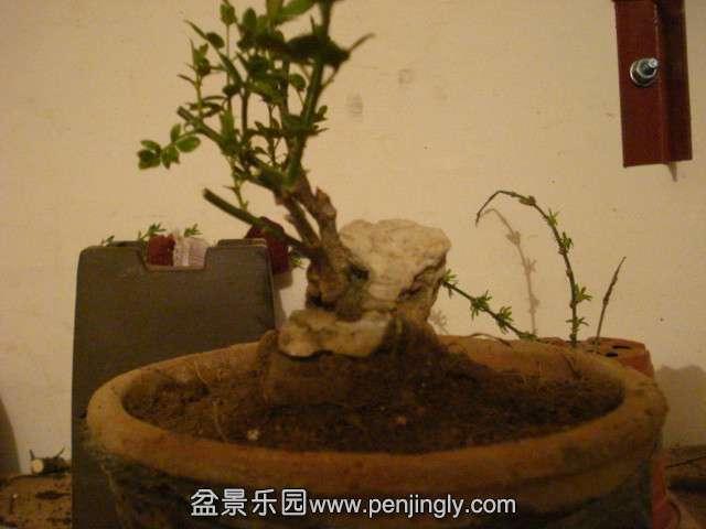 4 16 桩材交易区 盆景乐园 中国最大最专业的盆景艺术交流平台