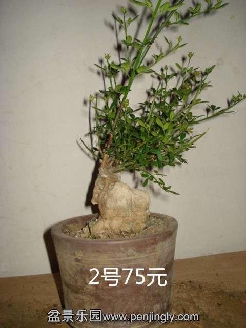 4.30 桩材交易区 盆景乐园 中国最大最专业的盆景艺术交流平台