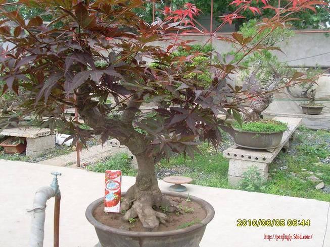 枫 出售 桩材交易区 盆景乐园 中国最大最专业的盆景艺术交流平台